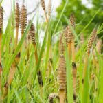 Horsetail: Benefits, Uses, and Side Effects