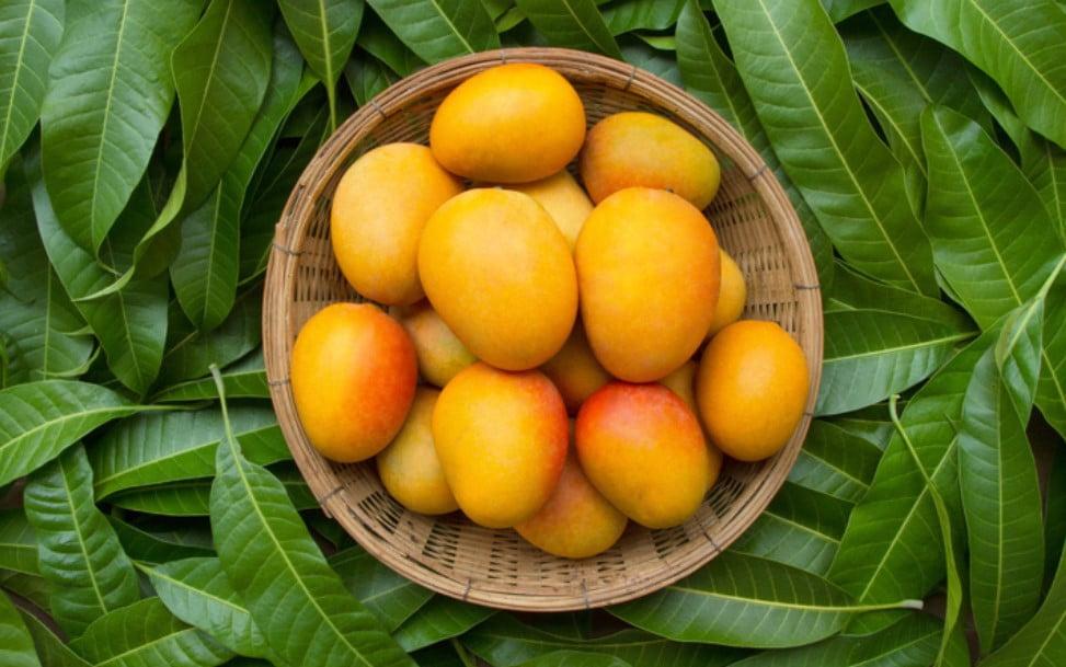 Overindulging in mangoes